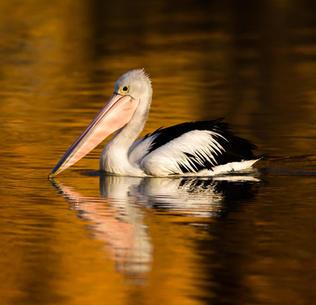 Pelican - Sth Australia