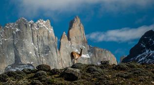 Guanaco, Chile
