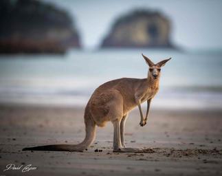 Kangaroo - Cape Hillsborough