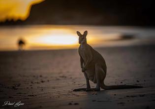 Kangaroo - Cape Hillsborough at Sunrise