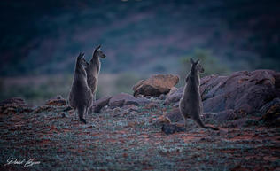Three Roos