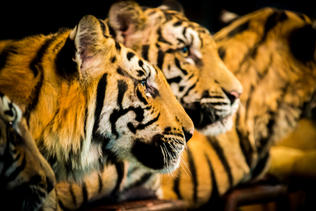 Tigers, Thailand