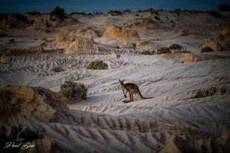 Kangaroo - Mungo