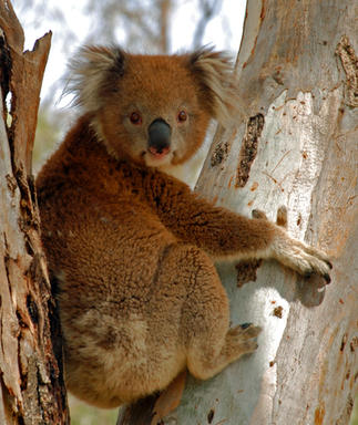 Koala, Tocumwal.