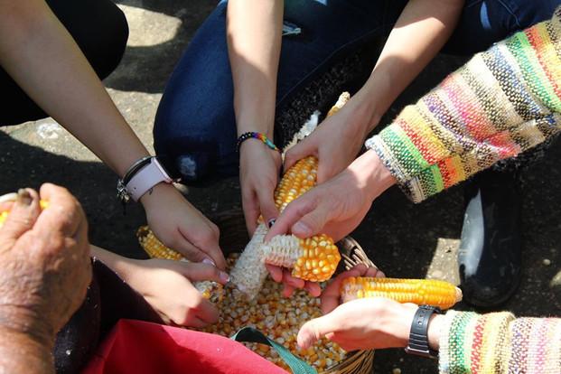 desgranando maíz