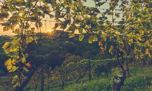 vignes sous un coucher de soleil