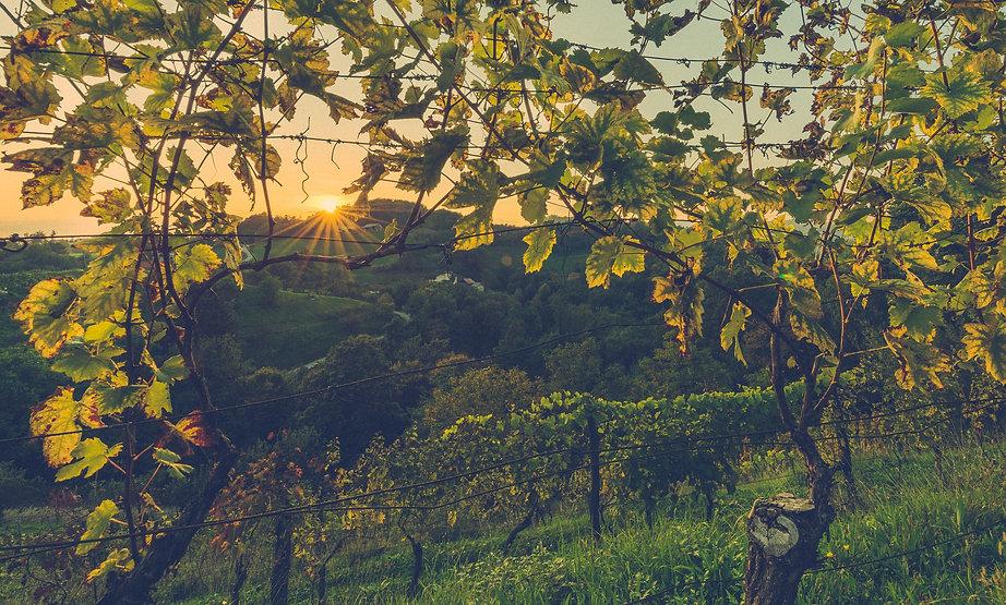 vigne vin