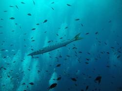 Bécunes ou barracuda