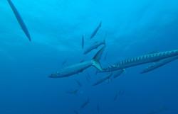 Barracudas au palier