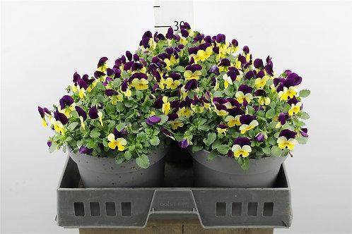 Viola Planter