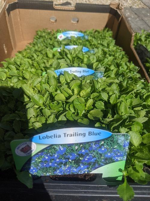Bedding Lobelia - Trailing Blue