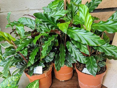 Calathea or Prayer Plant
