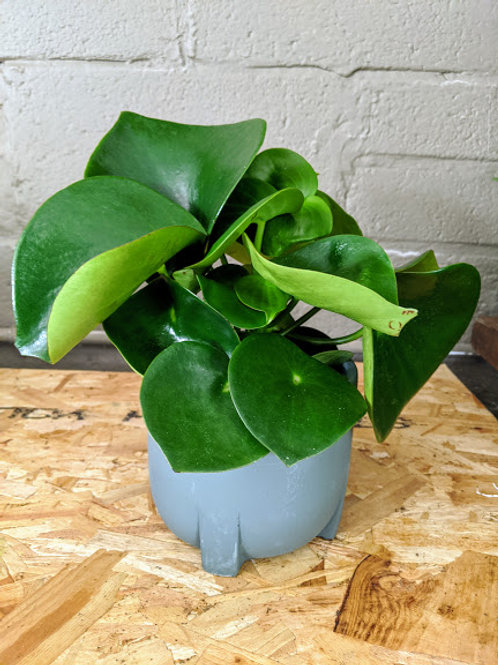 Peperomia 'Raindrops' - Coin Plant