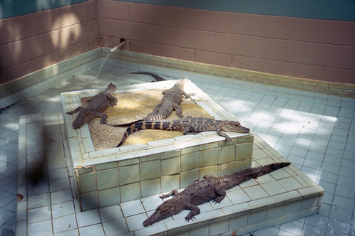 Central Florida Alligator Farm by Lindsay Bottos