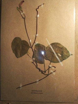 botanical specimen (rin-pa)