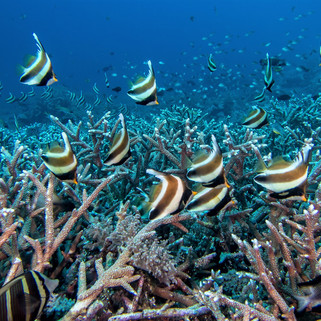 Tubbataha Reef Coopers Narayana (2).jpg