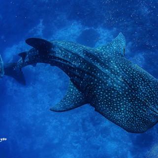 Tubbataha whale shark