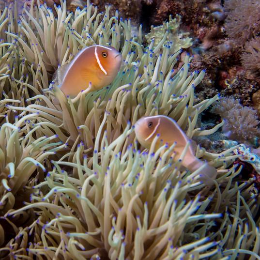 Tubbataha Reef Coopers Narayana (7).jpg
