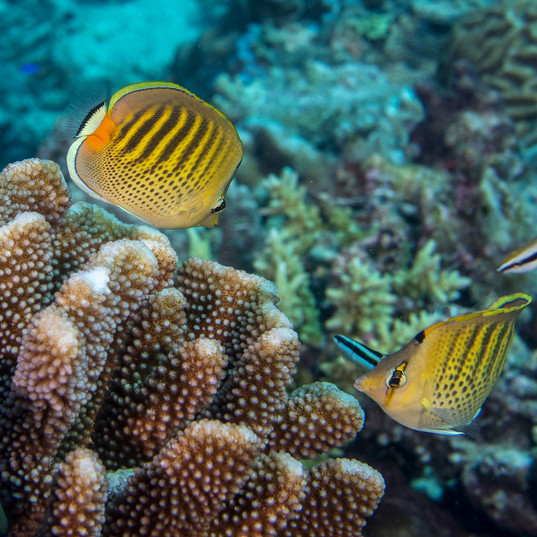 Tubbataha Reef Coopers Narayana (11).jpg