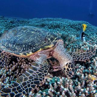 hawkbill turtle tubbataha reef Coopers N
