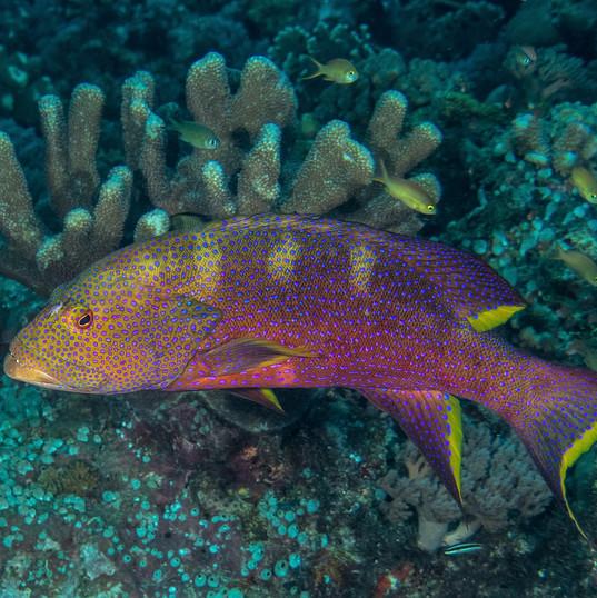 Tubbataha Reef Coopers Narayana (10).jpg