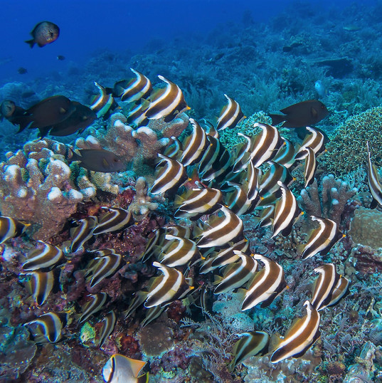 Tubbataha Reef Coopers Narayana Liveaboa
