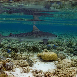 Tubbataha Tiger Shark -Coopers Narayana.