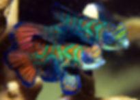 Coopers Dive - Mandarin Fish.jpg