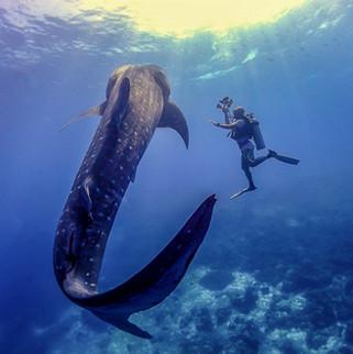 Tubbataha Reef Whale Shark Coopers Naray