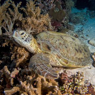 Tubbataha reef turtle Coopers Narayana (