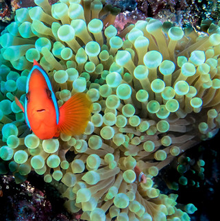 Tubbataha Reef Coopers Narayana (9).jpg