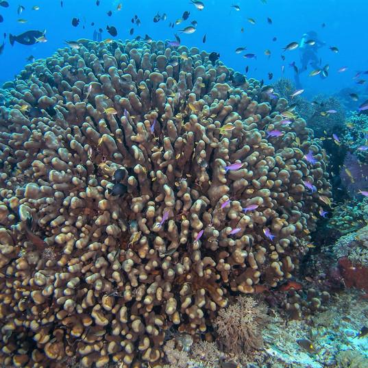 Tubbataha Reef Coopers Narayana.jpg