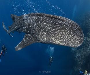 Tubbataha Whale Shark Coopers Narayana Philipiine Liveaboard