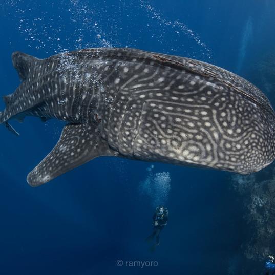 Tubbataha whale Shark - Coopers Narayana
