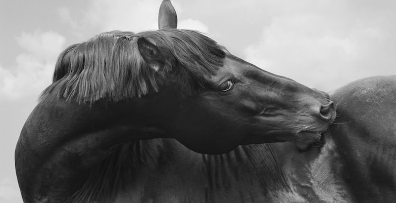Equine ulcers – the hidden effect of domestication