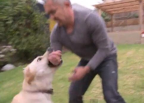 cao labrador mordendo o adestrador Cesar Milan