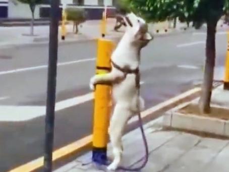 Cão que gosta de montar, ou copular.