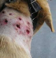 danos causado pelo uso de estrangulador no adestramento