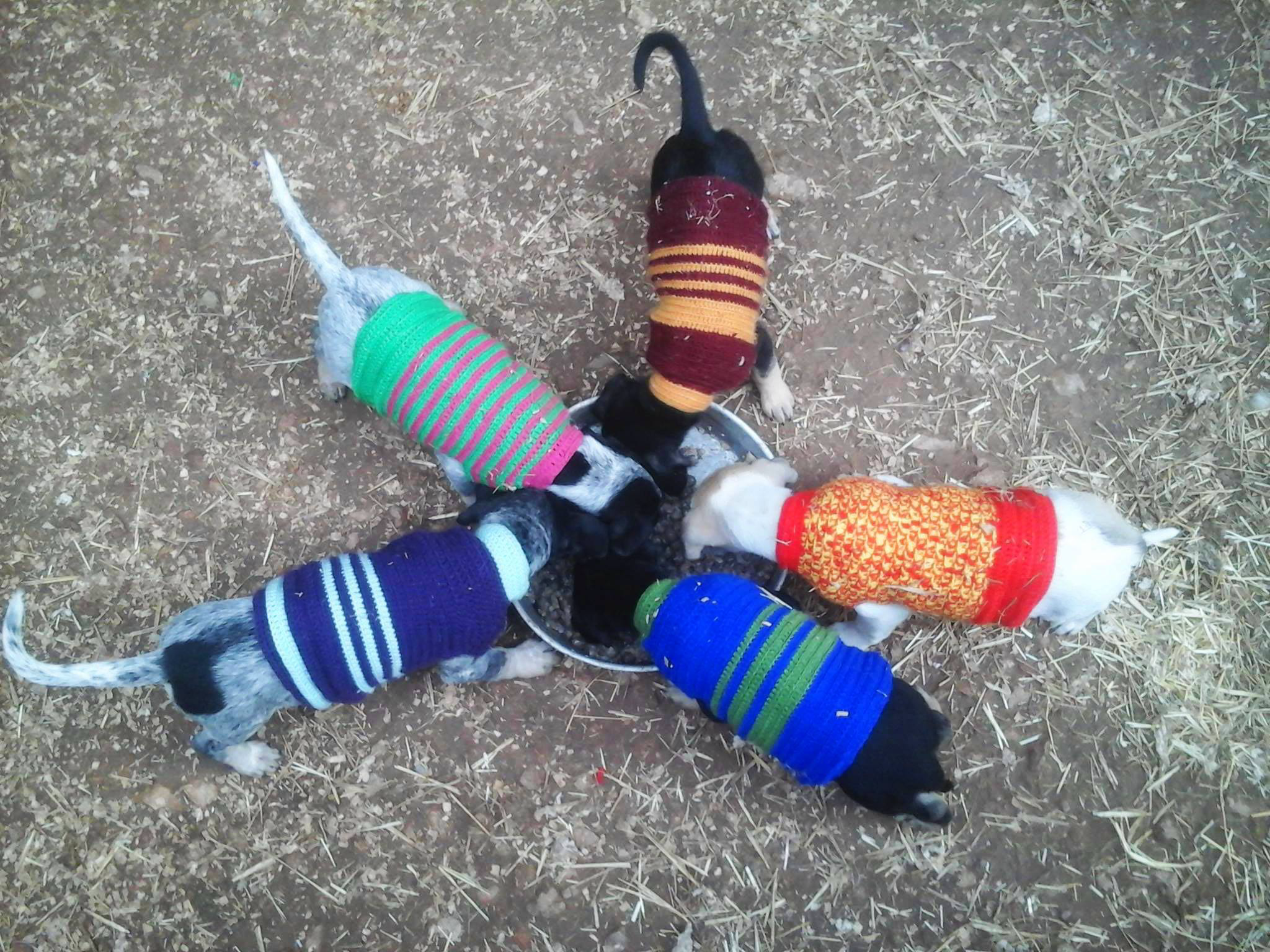 puppies in sweaters3 jan 17