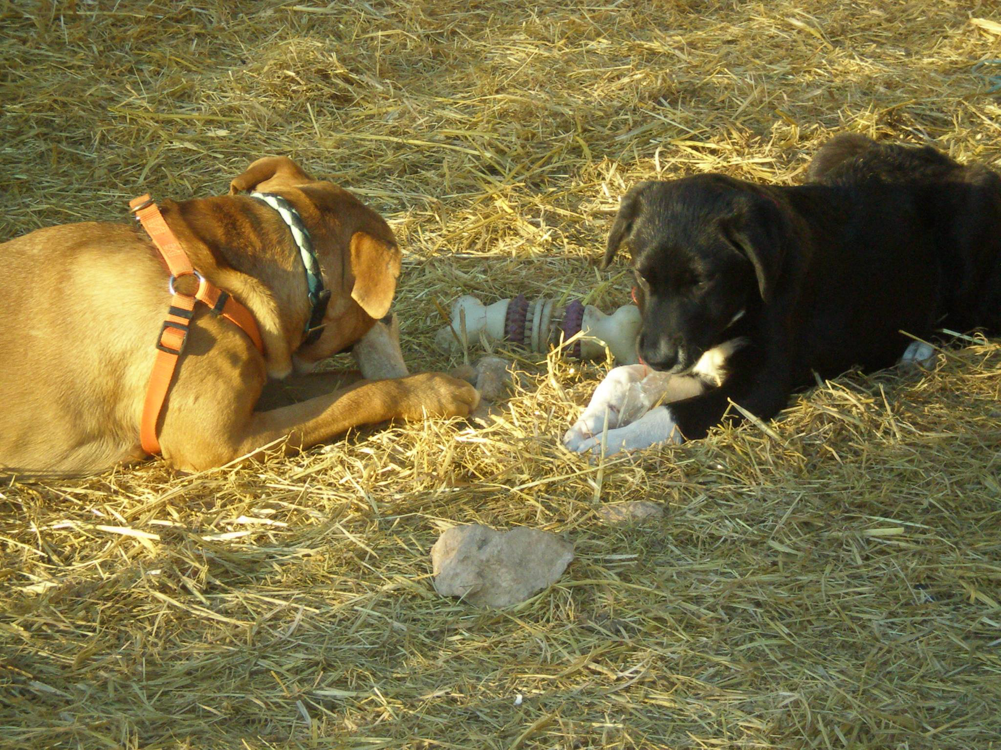 puppies chewing
