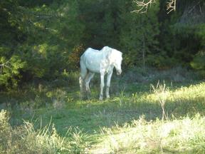 The Gallant White Horse