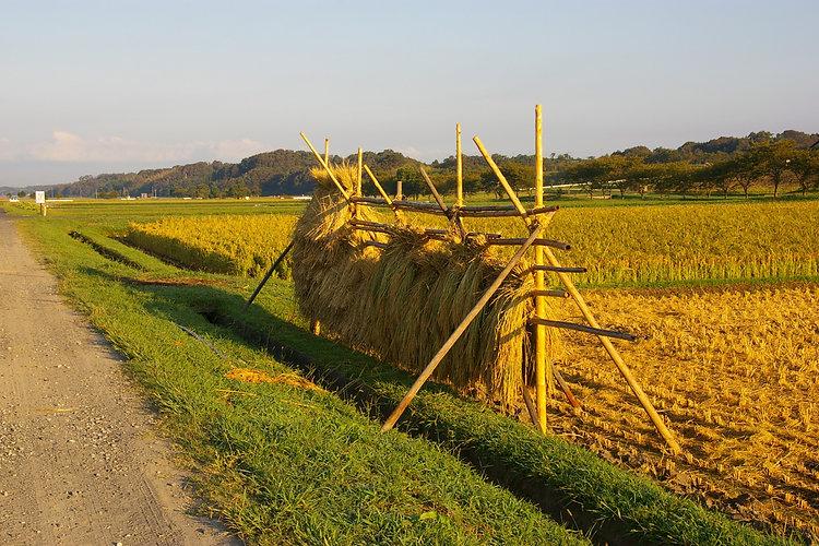 autumn-rice-field.jpg