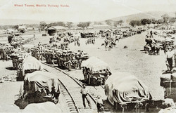 Wheat Teams Manilla Station 1905 - Stoddart Post Card