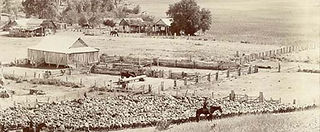Photo: Wheat harvest on the Chick property 'Everton' 1900s