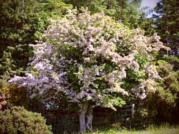 To the Celts, the Hawthorn tree is sacred and magical. Those born under the tree's sign are rather magical themselves