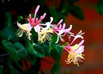 In Celtic folklore, honeysuckle was considered an antidote to the evil eye. It also attracted money and weddings!