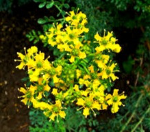 Gardeners plant rue to repel pests.  Celtic folklore says the herb can repel curses as well.