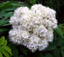 Place Rowan flowers on your window sills and thresholds to keep evil spirits from entering your home.