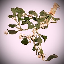 Kissing under the mistletoe is a fun yuletide tradition but, for the Celts, there was so much more to this mystical, magical plant.