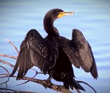 A Boobrie may look like a cormorant but it's actually a shapeshifting, livestock-stealing faerie.